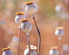 opium2.jpg
