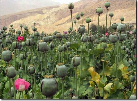opiumfield.jpg