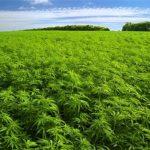 marijuana-field.jpg